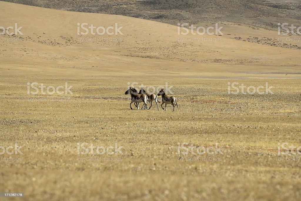Tibetan Wild Asses stock photo
