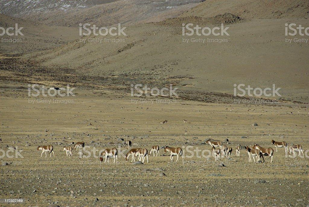 Tibetan Wild Mule (Kiang) @ Ngari, Tibet royalty-free stock photo