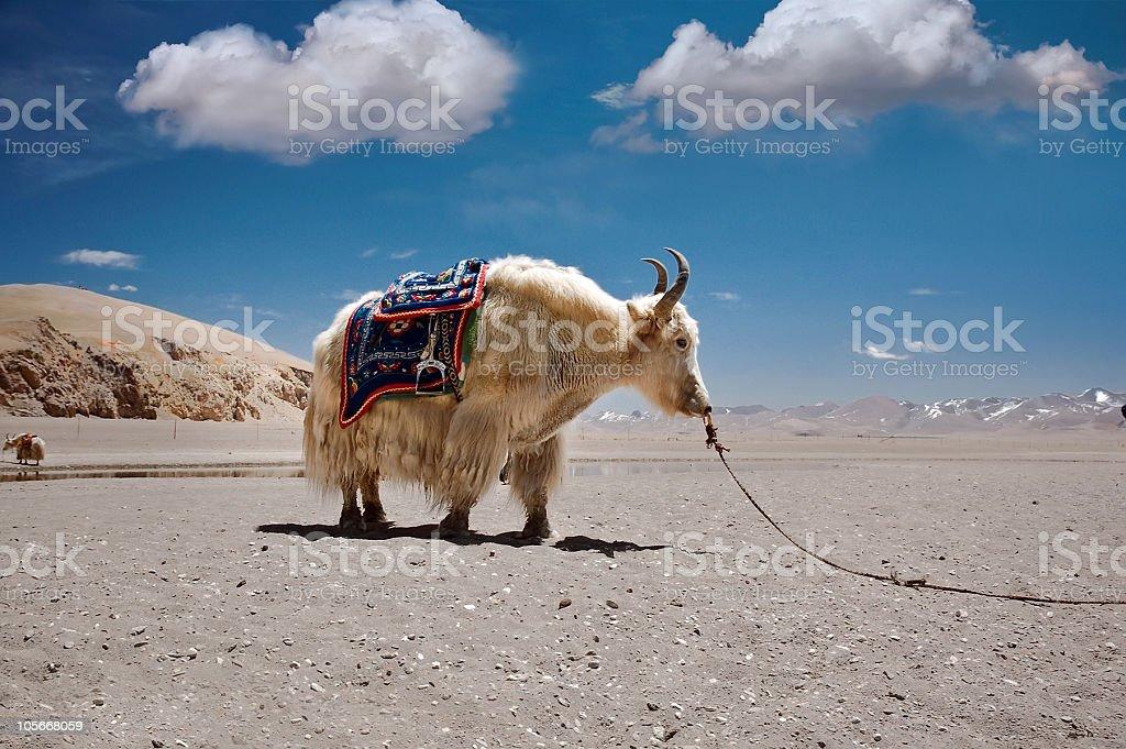 Tibetan yak royalty-free stock photo