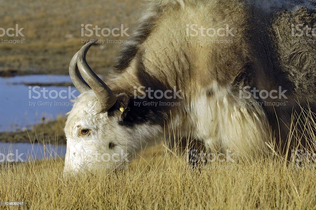 tibetan yak stock photo