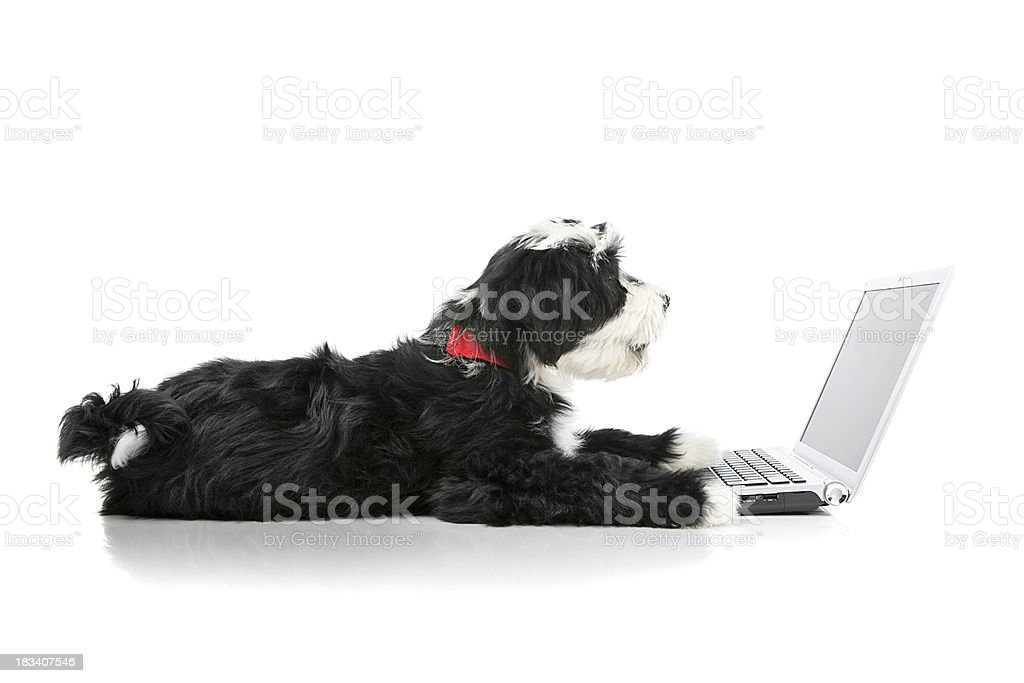 Tibetian terrier dog looking at a laptop stock photo