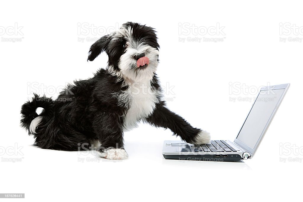 Tibetian terrier dog with a laptop stock photo