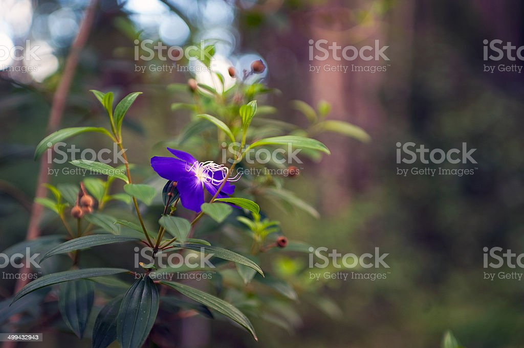 Tibouchina purple flower stock photo