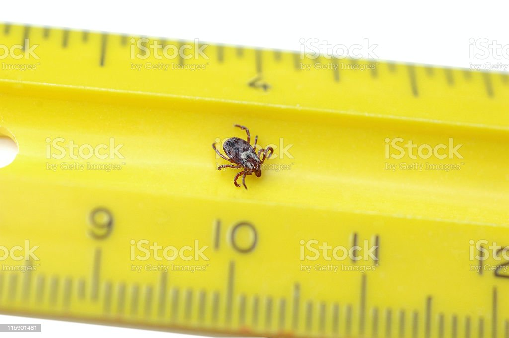 Tick Crawling on Ruler royalty-free stock photo