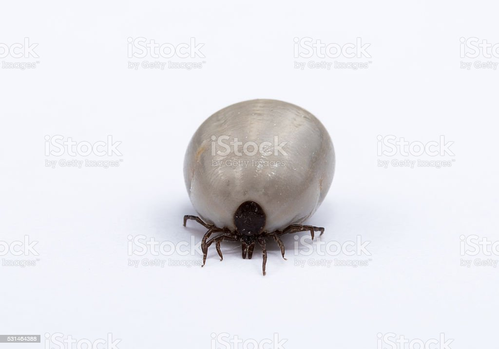 tick insect stock photo