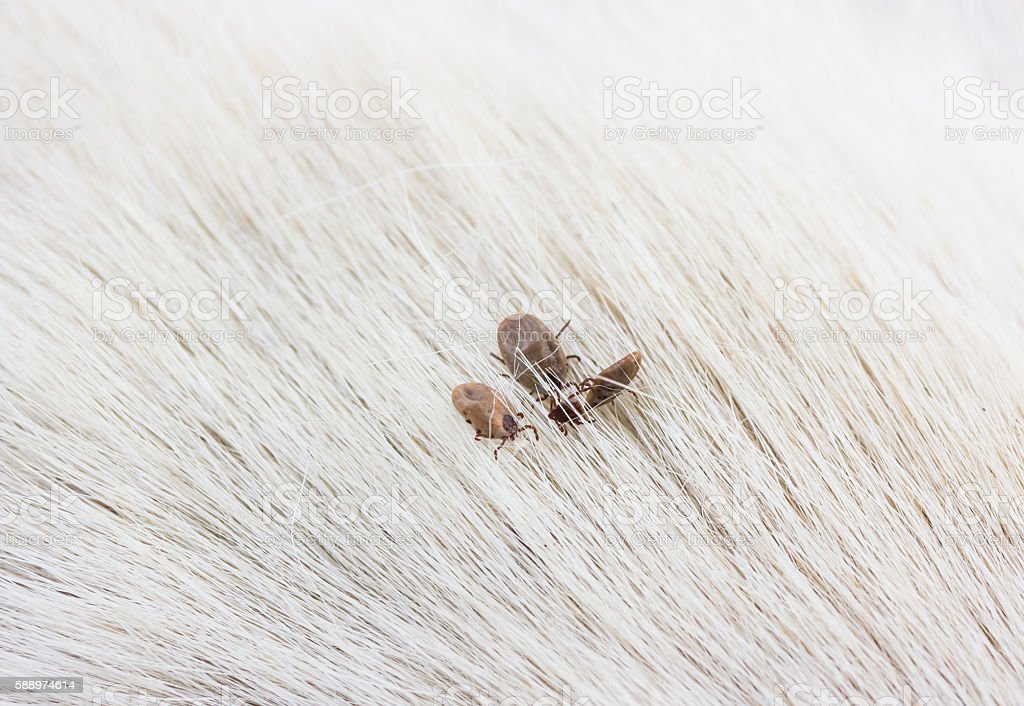 tick on a dog skin stock photo