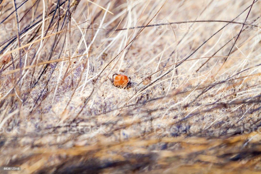 Tick on animal skin. Ticks caught in wild boar skin. stock photo