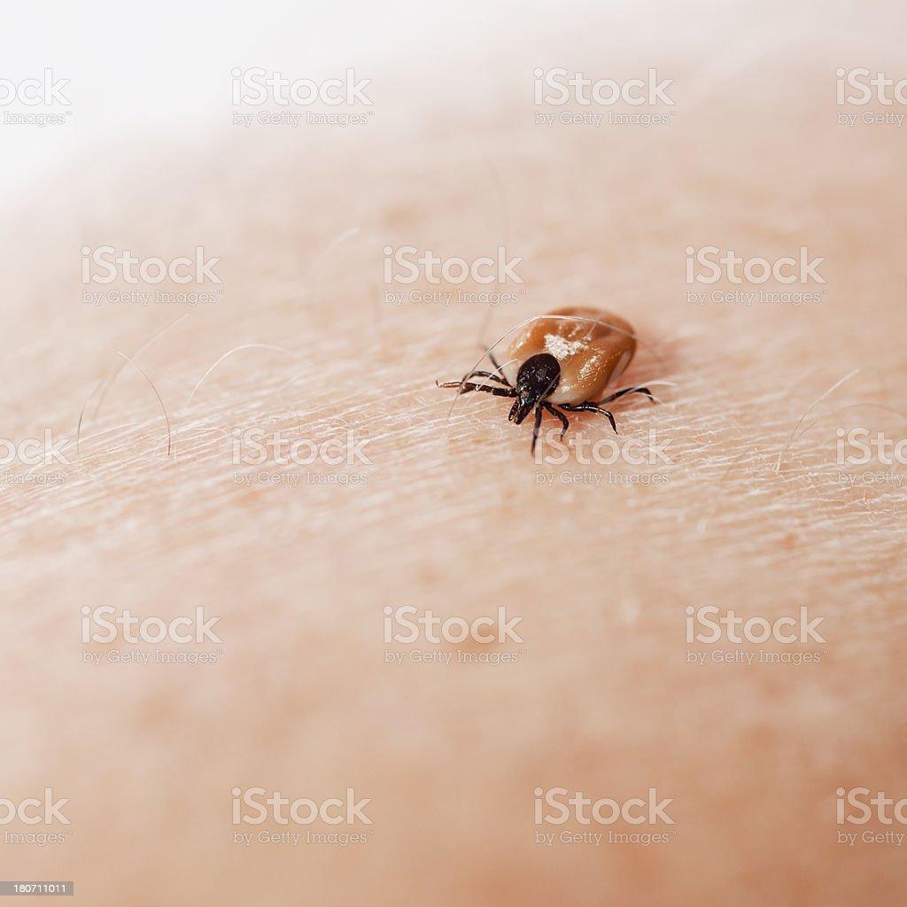 tick on human skin stock photo