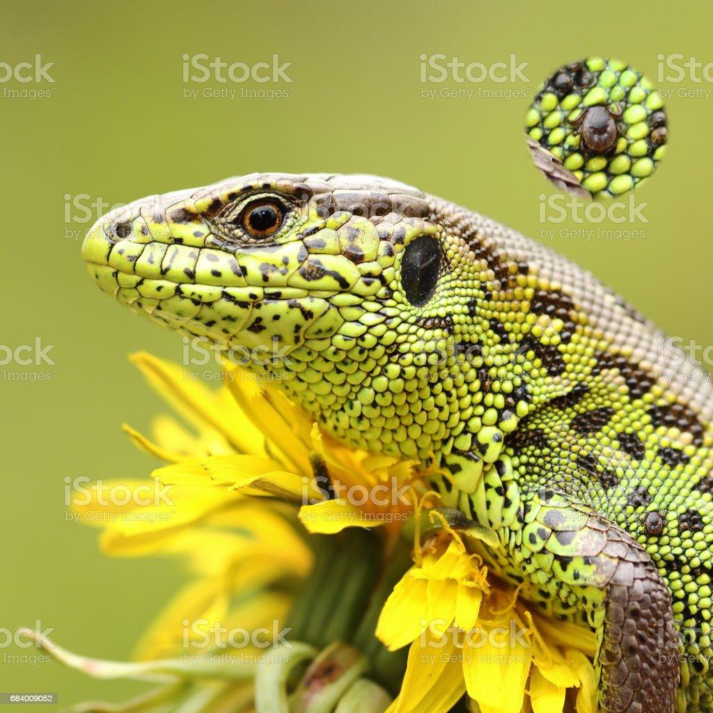 tick on sand lizard skin stock photo