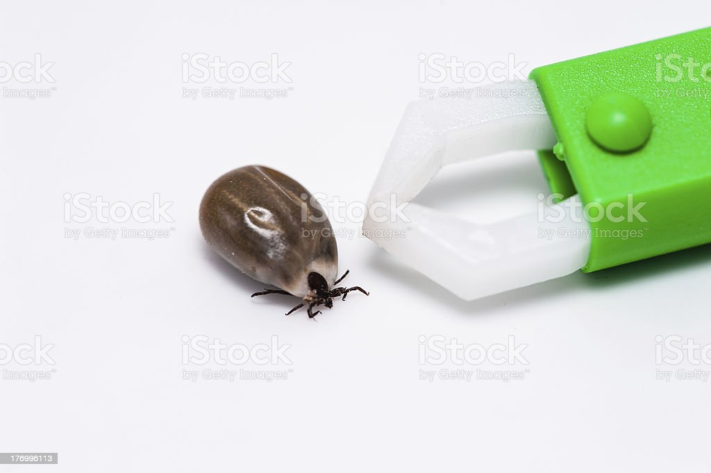 Tick with a forceps stock photo