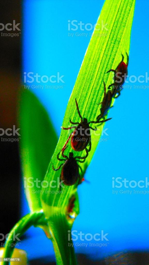 Ticks (Acari) stock photo