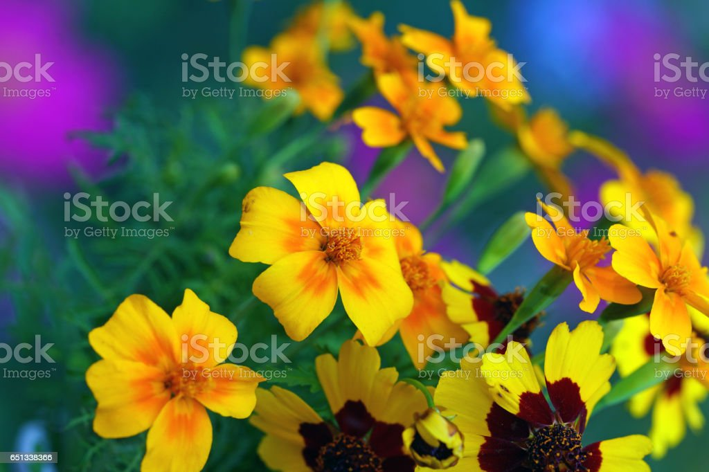 Tickseed and california poppies stock photo