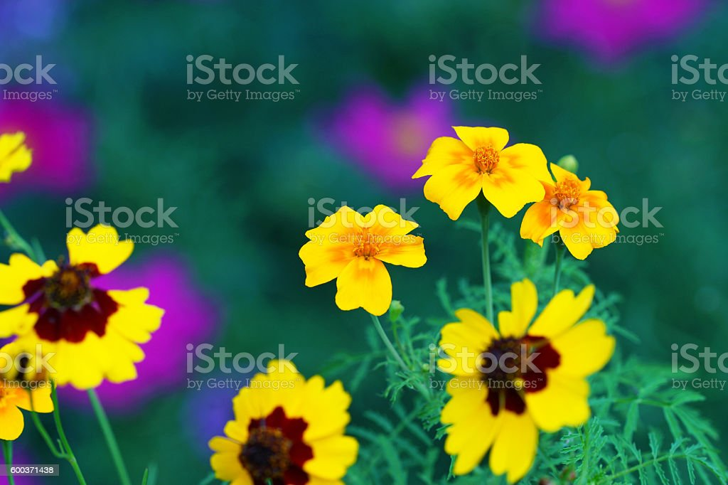 Tickseed, california poppies and garden cosmos stock photo