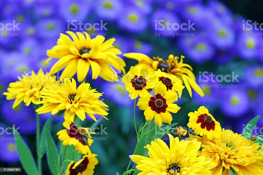 Tickseed, marigold and summer asters stock photo
