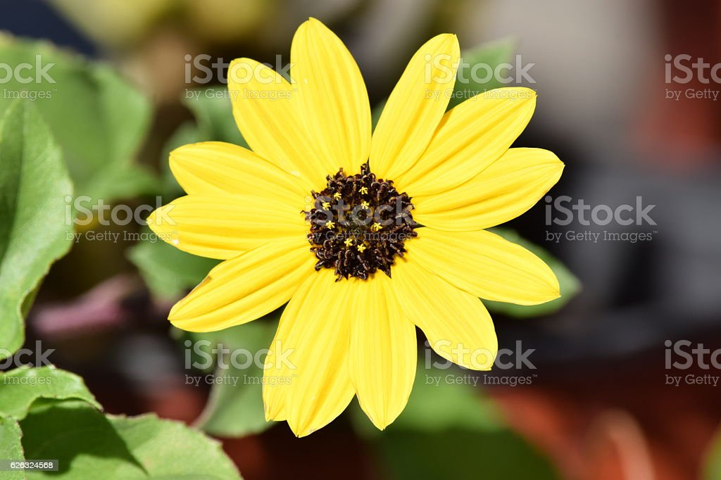 Tickseed or Coreopsis  flower bloom stock photo