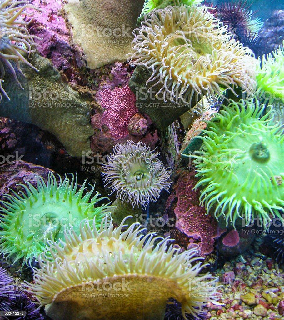 Tide pool anemones stock photo