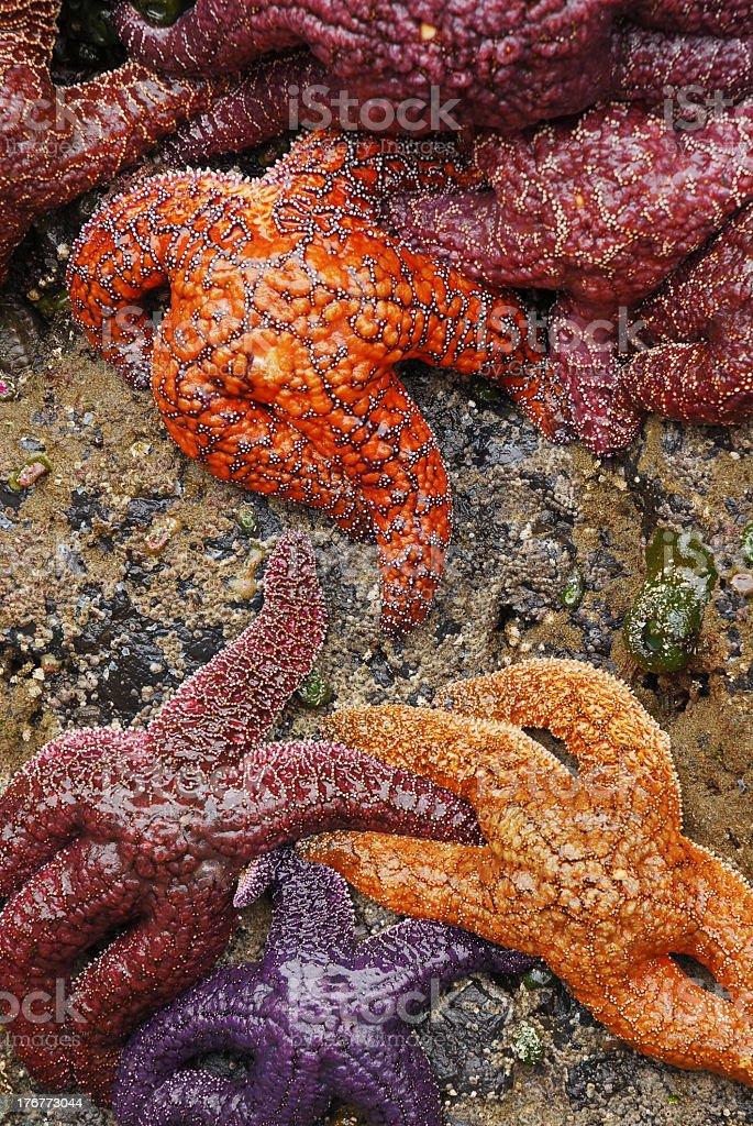 Tidepool Starfish stock photo