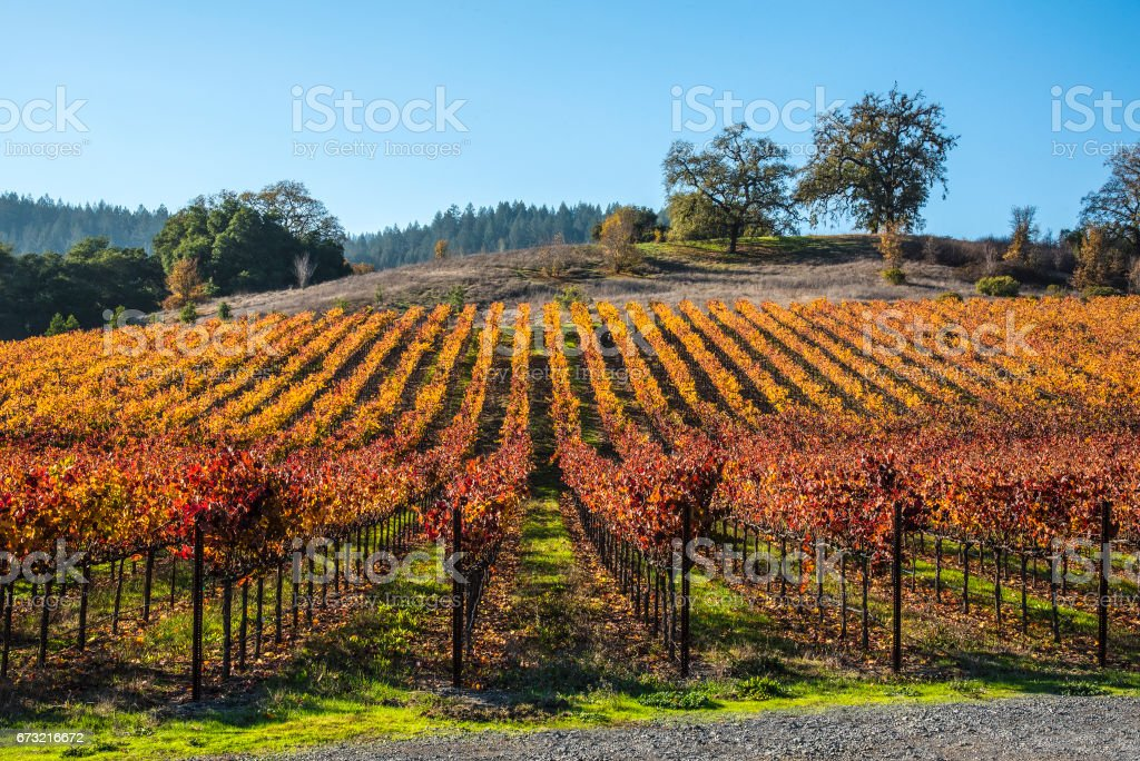 Tidy vineyard stock photo