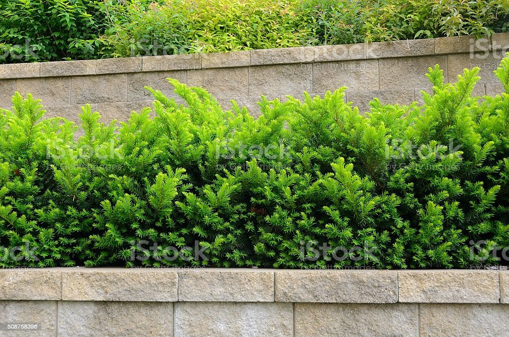 Tiered Retaining Wall with Yew Shrubs stock photo