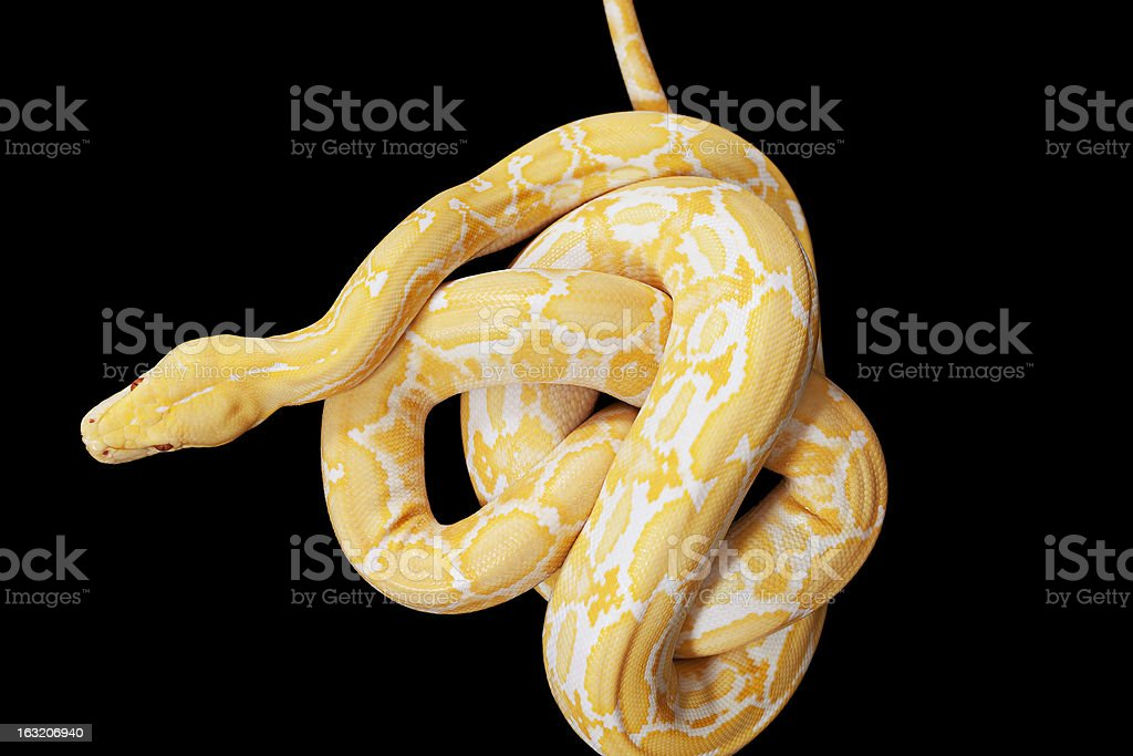 Tiger Albino Python snake royalty-free stock photo