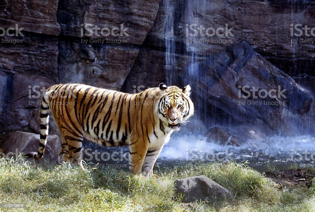 Tiger and Waterfall stock photo