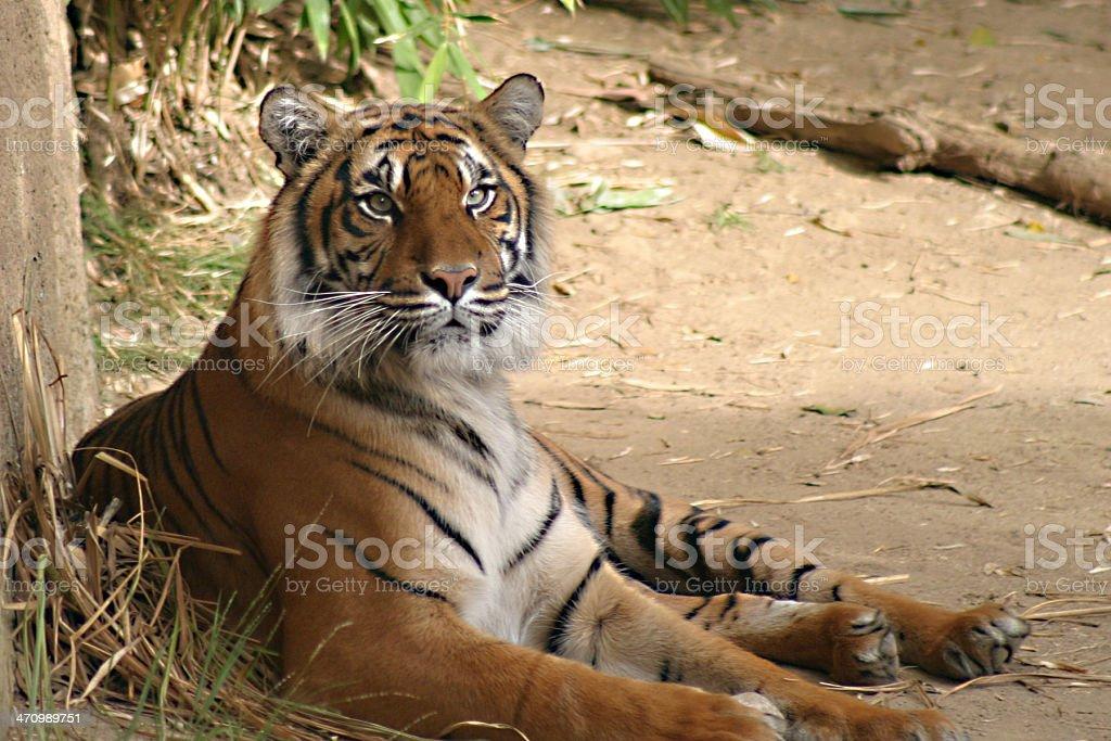 Tiger at Zoo royalty-free stock photo