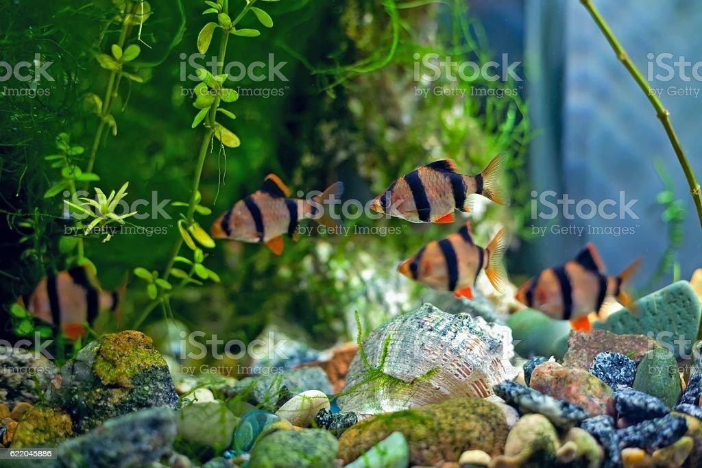 Tiger barb a in aquarium stock photo