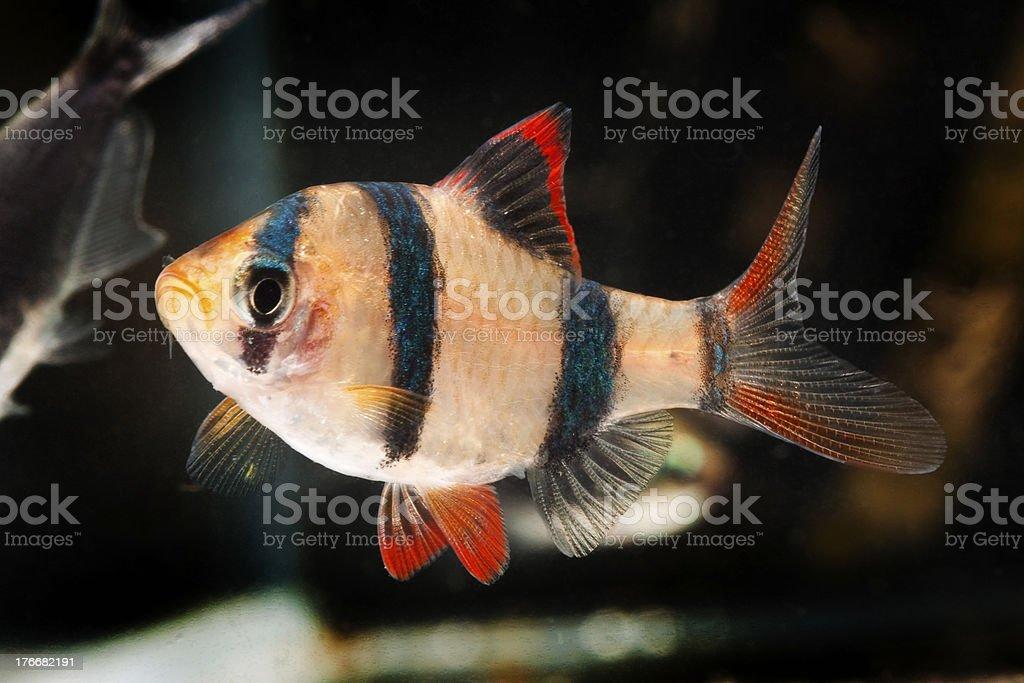 Tiger barb aquarium fish stock photo