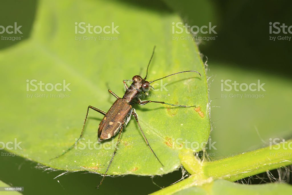 tiger beetles royalty-free stock photo