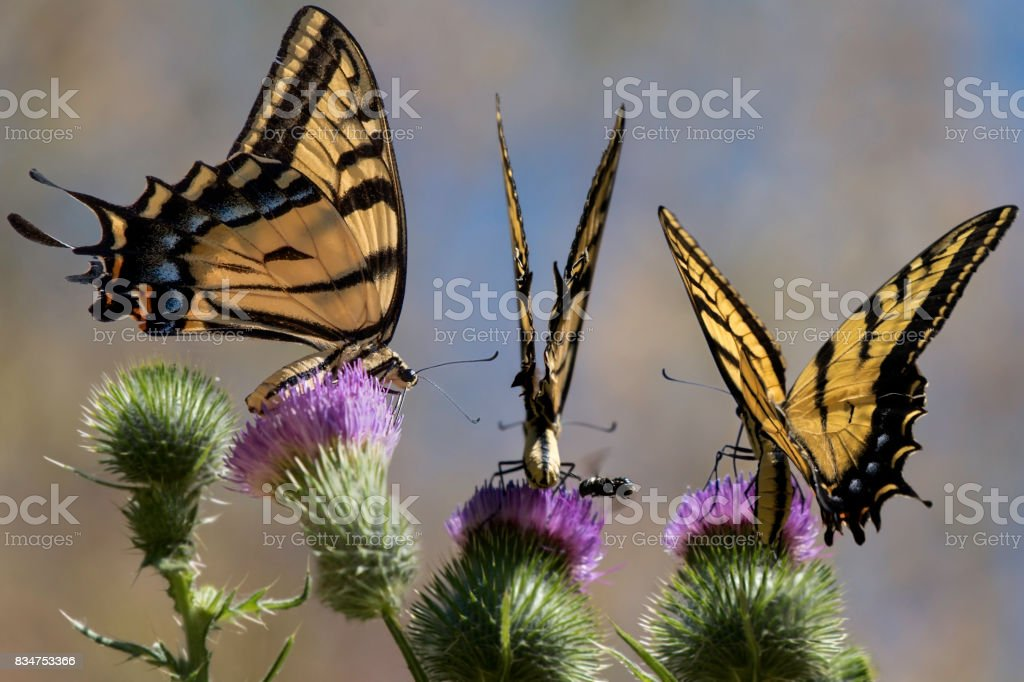 Tiger Butterflies and Wild Artichokes stock photo
