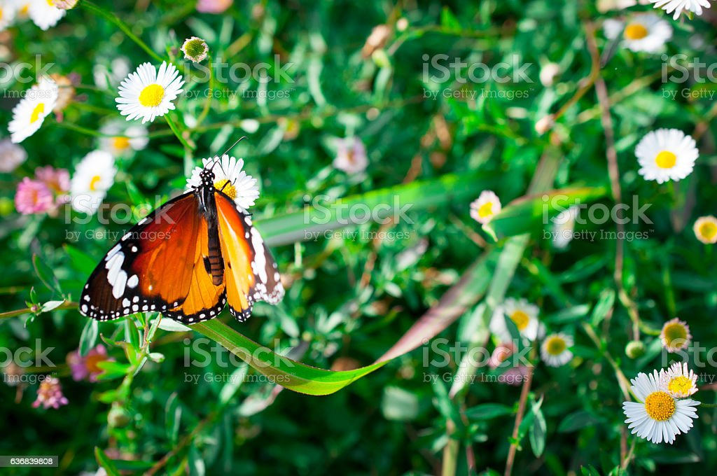 Tiger butterfly on flower, Close up Butterflies search food stock photo
