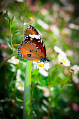 Tiger butterfly on flower, Close up Butterflies search food