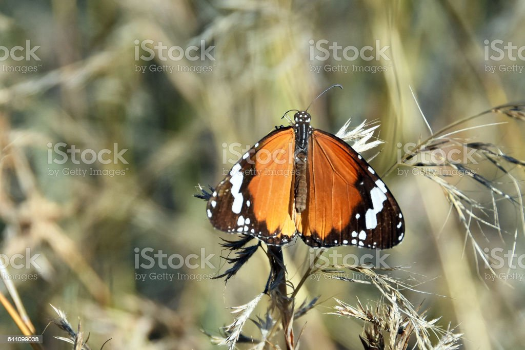 Tiger butterfly stock photo