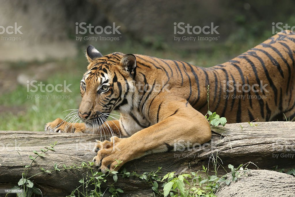 Tiger Claws stock photo
