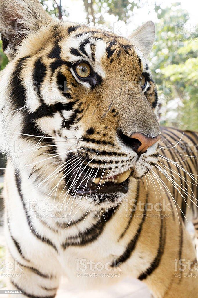 Tiger Close Up royalty-free stock photo