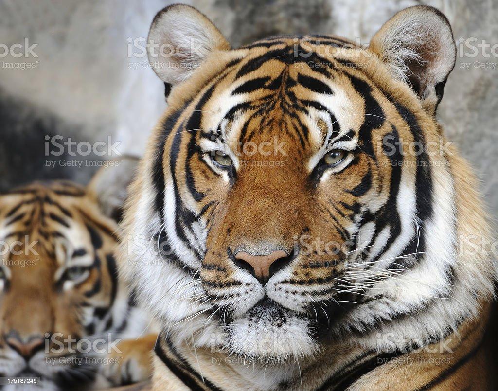 tiger close-up stock photo