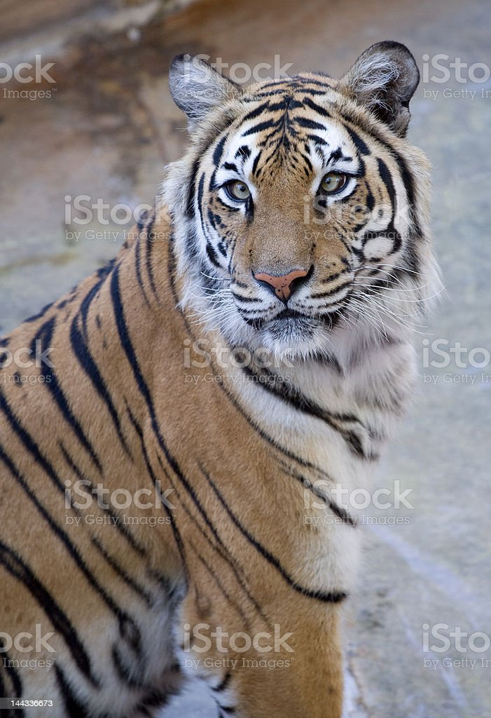 Tiger Contemplation royalty-free stock photo