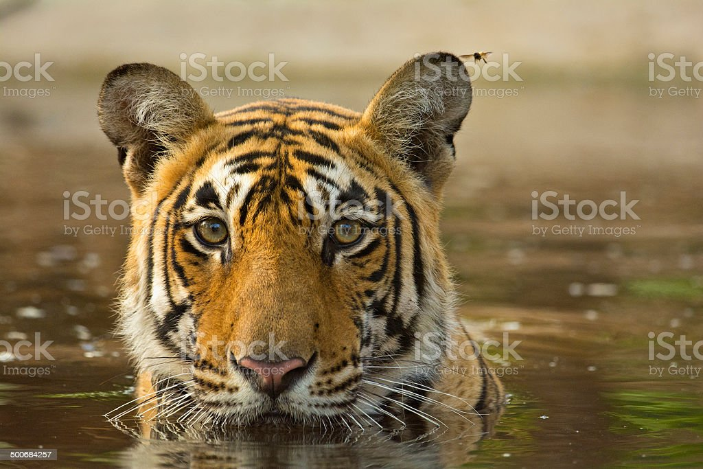 Tiger cooling off in a waterhole stock photo