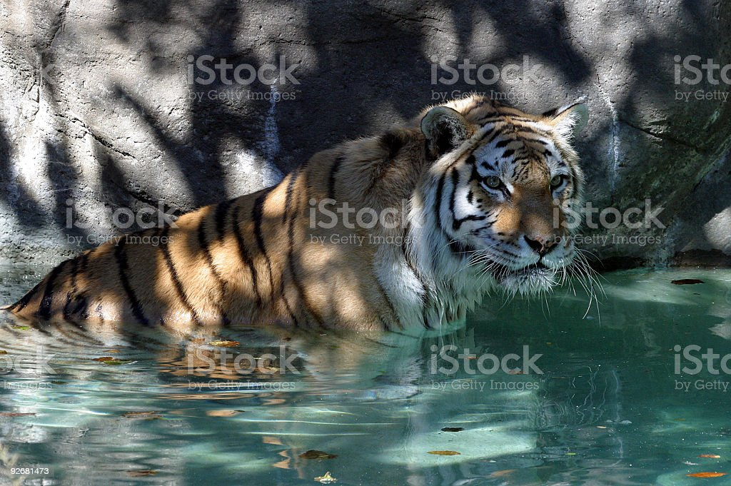 Tiger Cooling Off royalty-free stock photo