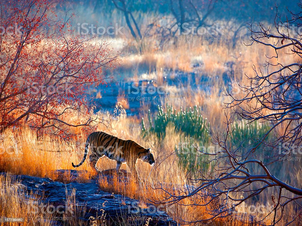 Tiger country stock photo