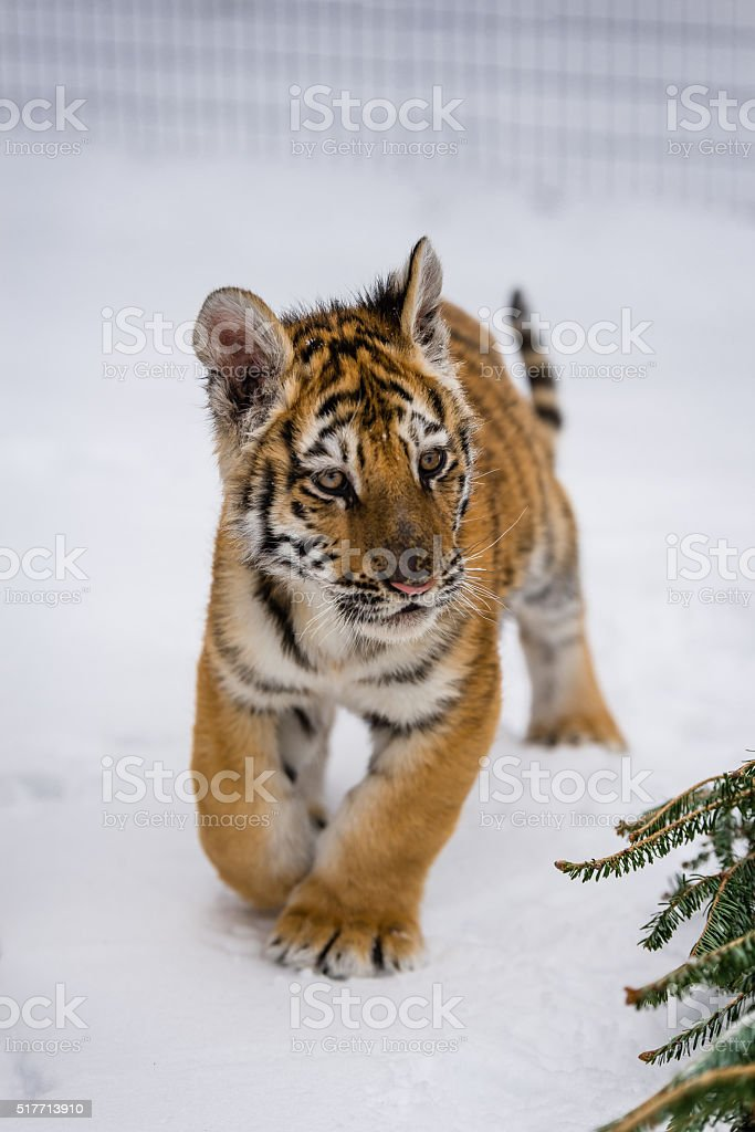 Tiger cub in the snow 2 stock photo