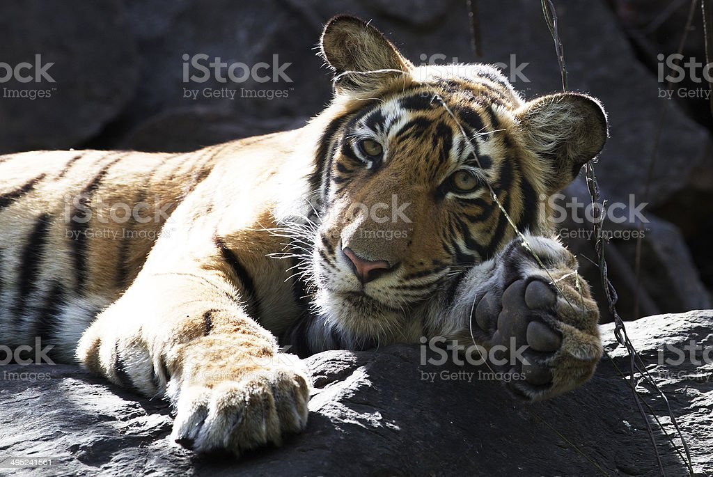 Tiger Cub, India stock photo