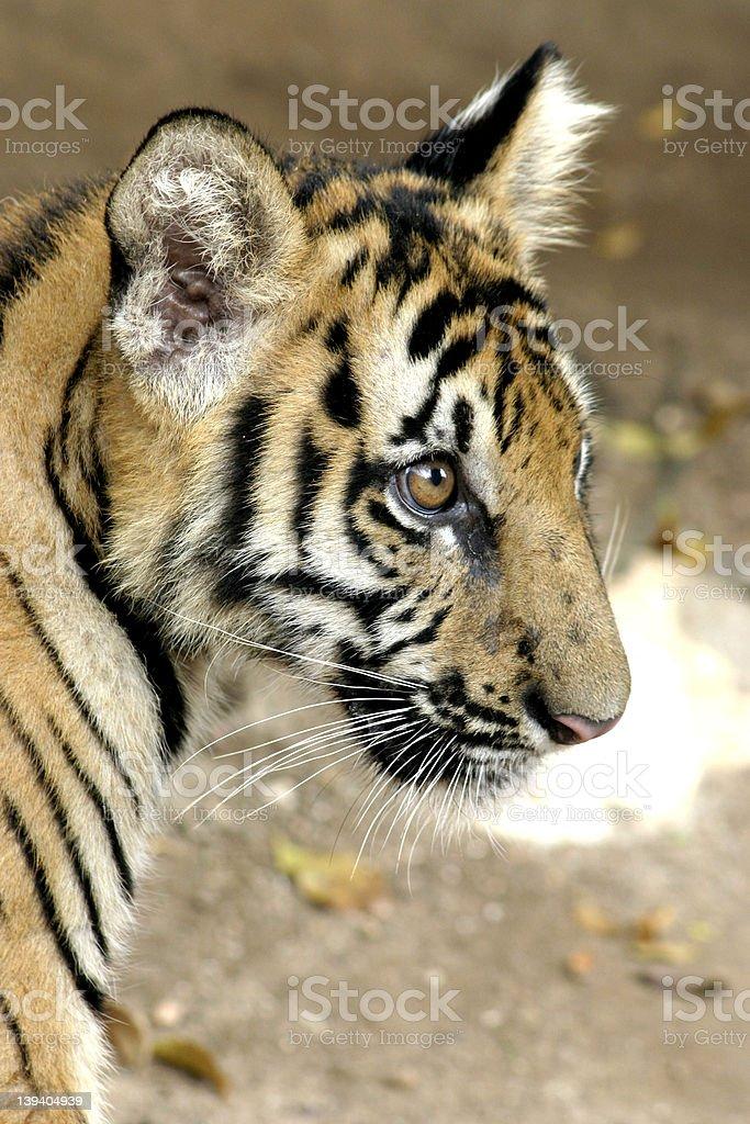 Tiger cub royalty-free stock photo