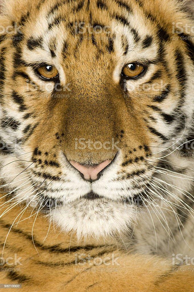 Tiger cub (5 months) stock photo