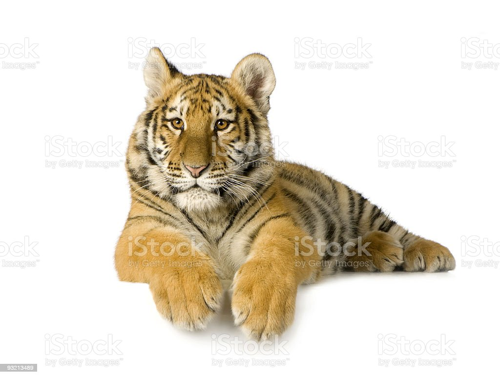 Tiger cub (5 months) royalty-free stock photo