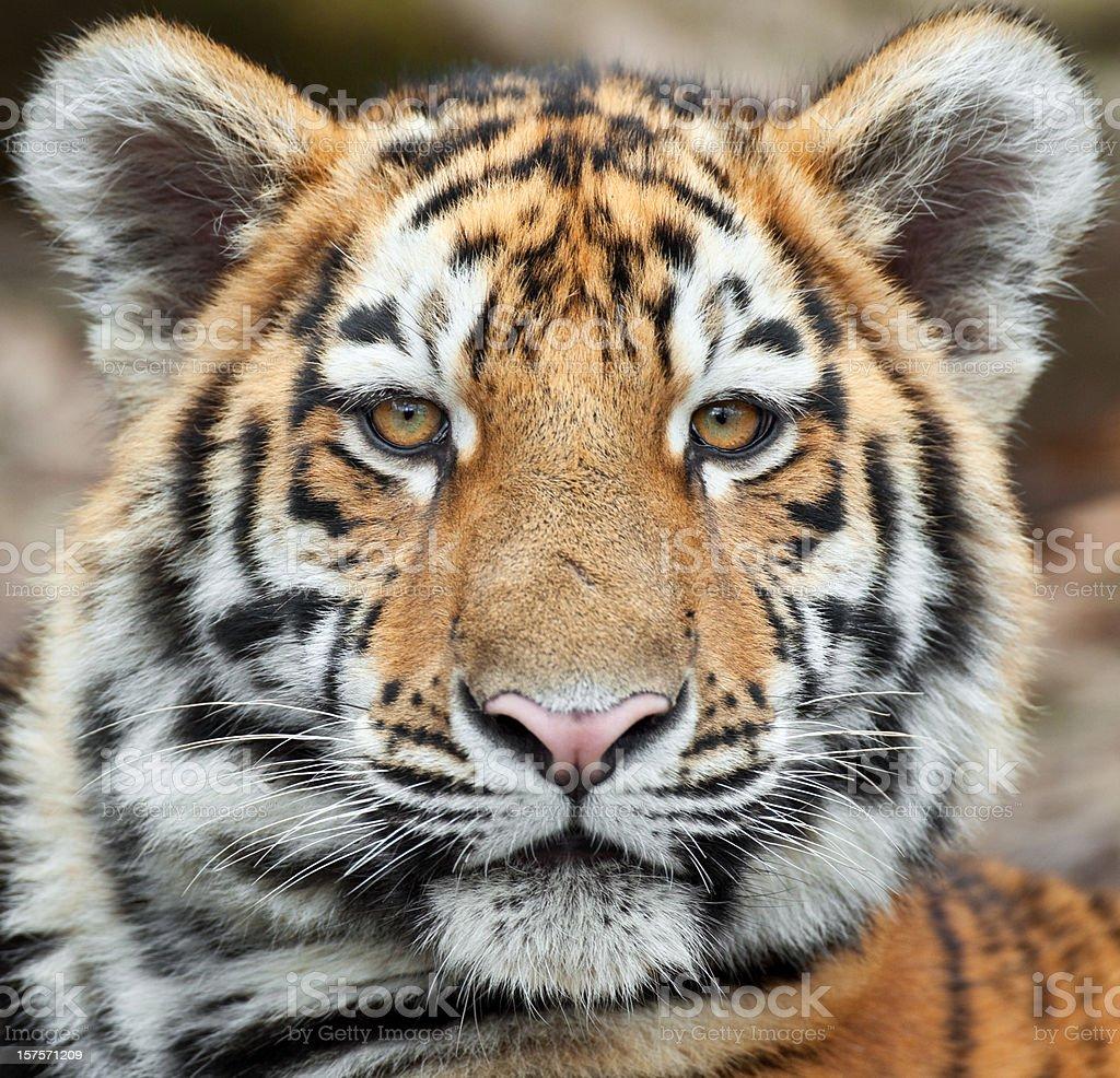 Tiger Cub Portrait stock photo