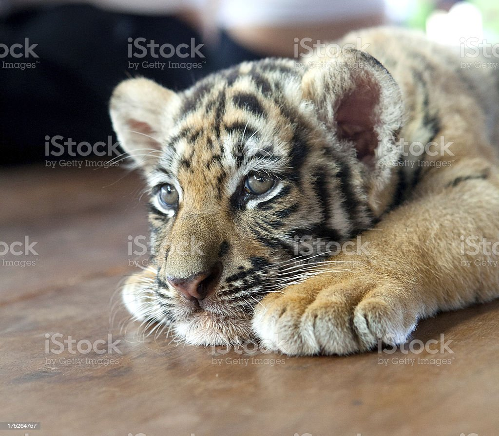 Tiger cub relaxing royalty-free stock photo