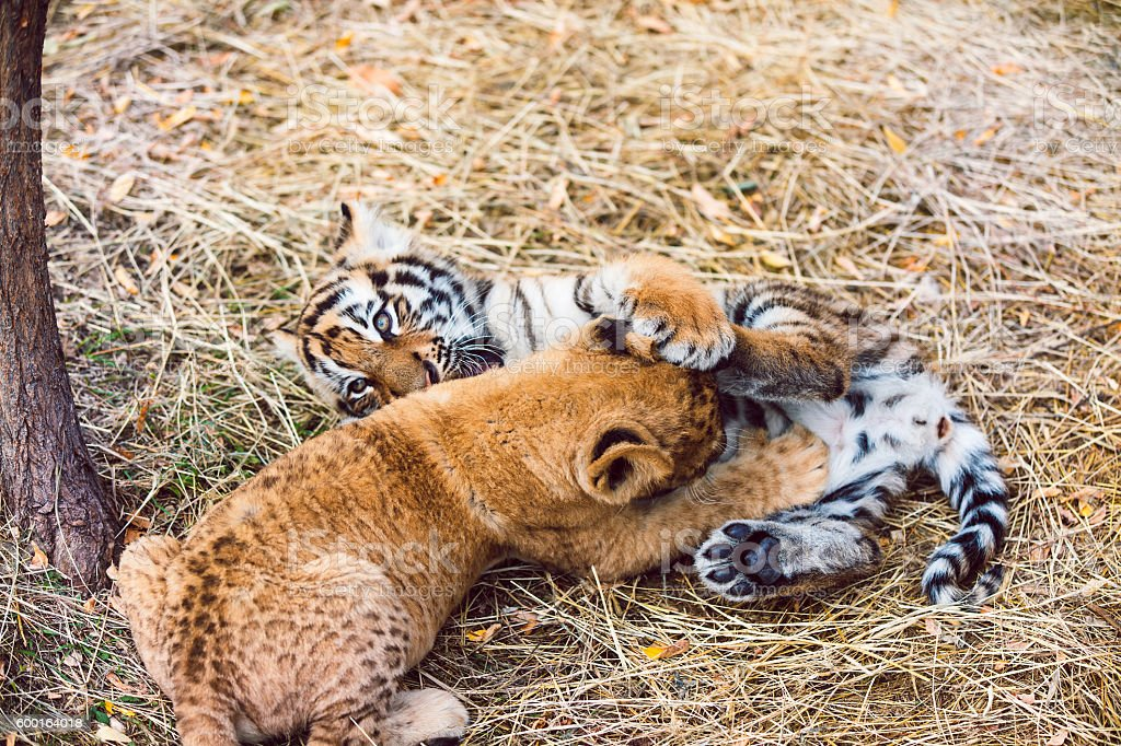 Tiger cubs playing after a good breakfast stock photo