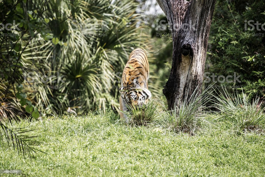 Tiger Eating Grass royalty-free stock photo