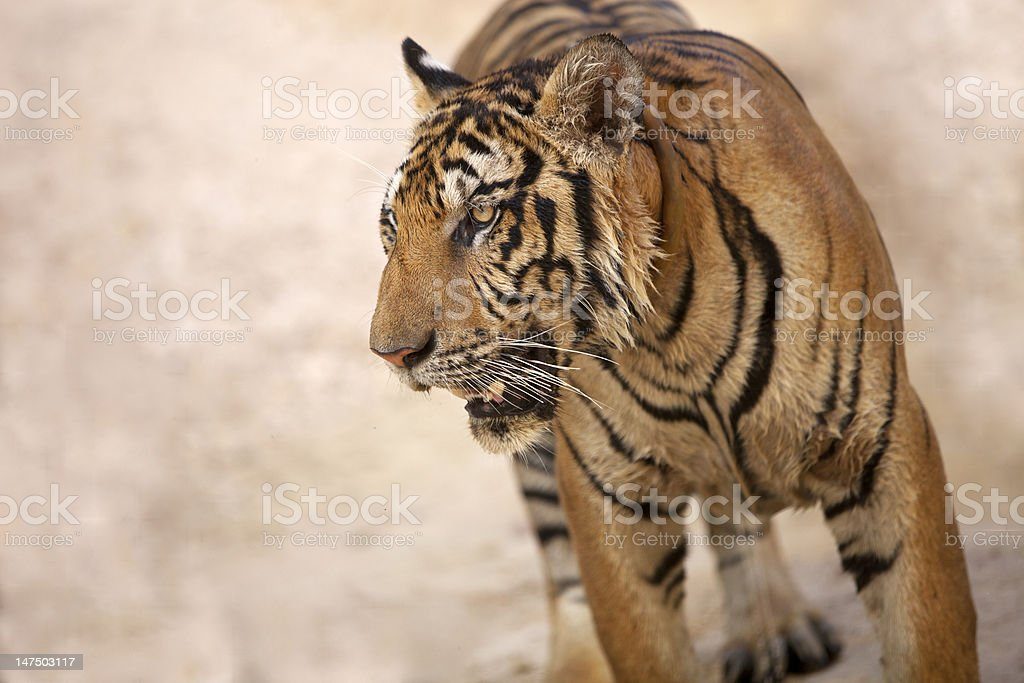 tiger face close-up royalty-free stock photo